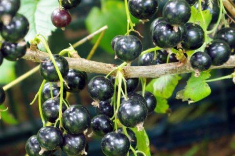Смородина черная Нара: описание и характеристики сорта, уход и выращивание