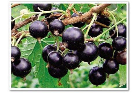 Орловия — сорт растения Смородина черная