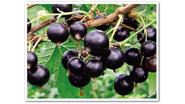 Орловия - сорт растения Смородина черная
