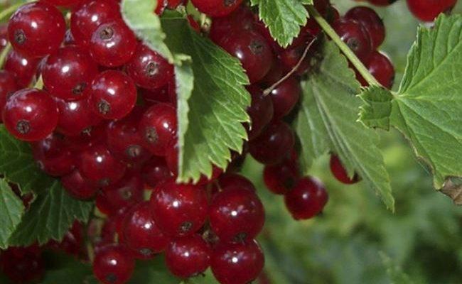 """Смородина красная """"Осиповская"""" Ribes rubrum"""