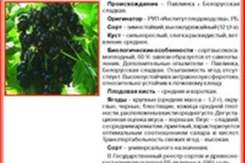 Смородина черная «Память Шукшину»