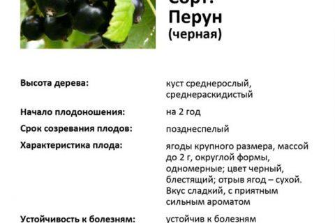 Смородина чёрная 'Перун' — Википедия