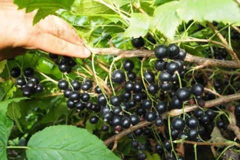 Лучшие сорта чёрной смородины: сладкие и ранние, поздние и средние