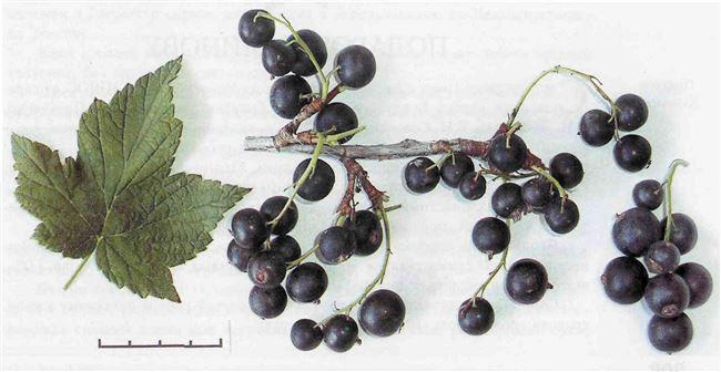 Смородина черная перспективные сорта Подарок Кузиору (Ribes nigrum Podarok Kuzioru) (уп. саженец), 1 шт