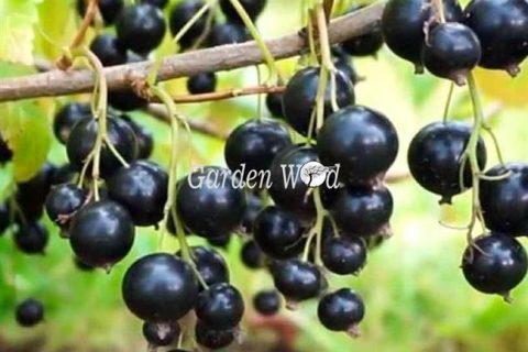 Смородина поэзия — описание сорта черной смородины. Фото и характеристика сорта. Средний по сроку созревания, достаточно прихотливый сорт смородины.