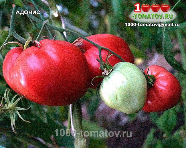 Чем отличается томат Адонис f1 от других сортов: основные преимущества и недостатки