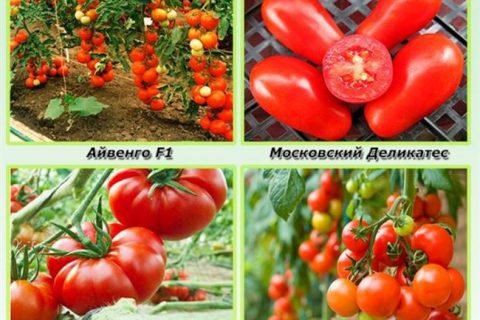 Томаты Айвенго F1: характеристика и описание сорта, отзывы об урожайности и фото помидоров