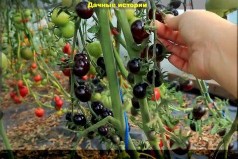 Томаты с сильным характером от селекционной компании Axia Vegetable seeds b.v.   PERFECTAGRO