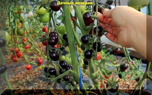 Томаты черри. Личный рейтинг 20 сортов для выращивания в теплице и открытом грунте