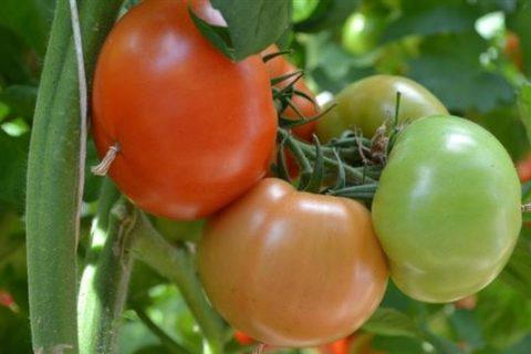 Томат Алая Каравелла F1: характеристика и описание сорта, фото и отзывы об урожайности помидоров