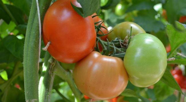 Новые сорта помидоров для выращивания на даче