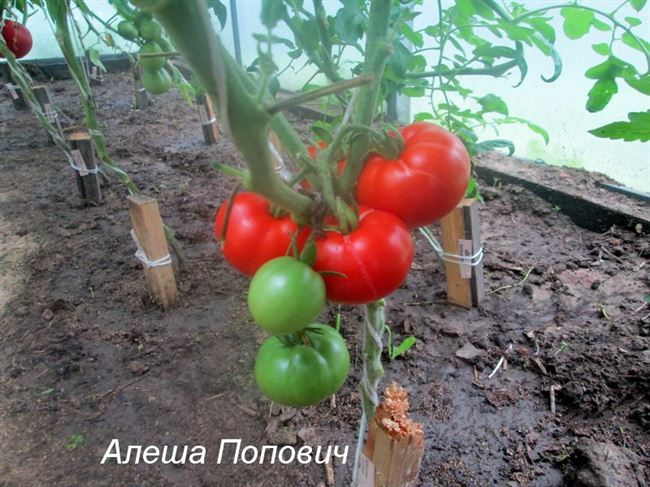 Томат Алеша Попович: отзывы тех кто сажал помидоры, характеристика и описание сорта, фото урожайности и