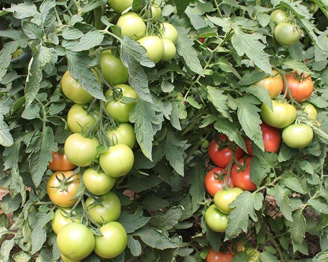 Алькасар F1 семена томата индетерминантного (Гавриш)
