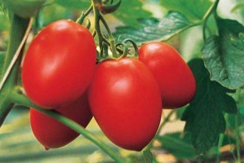 Амбер — сорт растения Томат