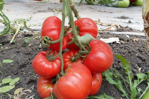Томат Амаури F1❤️Вкусные сорта кновому сезону доступны…   Интересный контент в группе Семена растений почтой