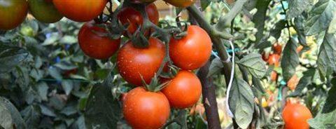 В 1998 году, селекционером А.А. Маштаковым, был выведен сорт помидоров «Андромеда» F1. Этот — гибридный сорт считается раннеспелым, а так же имеет три подвида: Розовый, Красный, Золотой. Начиная от появления росточков рассады до сбора урожая нужно около 92-116 дней. Сроки полного созревания Помидоров – золотая «Андромеда» F1 от 104 до 112 дней. Розовая «Андромеда» F1 созревает быстрее – 78 -88 дней. При холодной и дождливой погоде срок возрастает на 4 — 12 дней. Разновидности сорта помидоров «Андромеда» описываются одинаково: Ветвистость растения средняя, имеет детерминированный куст, растение не штамбовое. Высота приблизительно 58 — 72 см. В тепличных условиях высота может достигать более одного метра. Сорт «Андромеда» причисляют к полураскидному виду с простым соцветием. Начальное соцветие у сорта помидор «Андромеда» появляется над шестым листочком, в дальнейшем продолжают чередоваться через один, два листа. Одно соцветие может принести от пяти до семи помидоров. Розовая «Андромеда