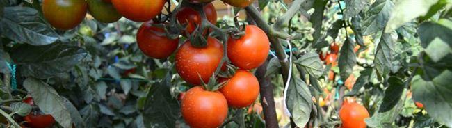 Андромеда F1: томат для крупных сельскохозяйственных предприятий