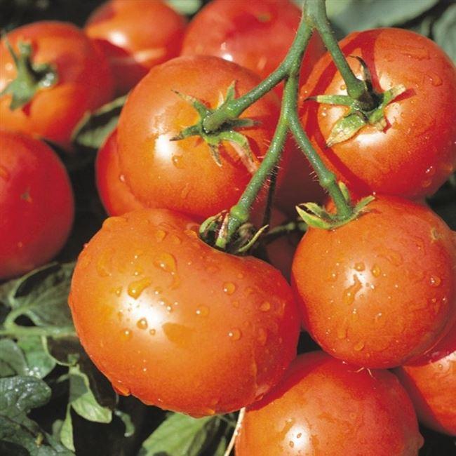 Давно забытый сорт томата,некогда очень популярный до гибридизации!Что это за сорт?Великолепный и урожайный детерминантный сорт!