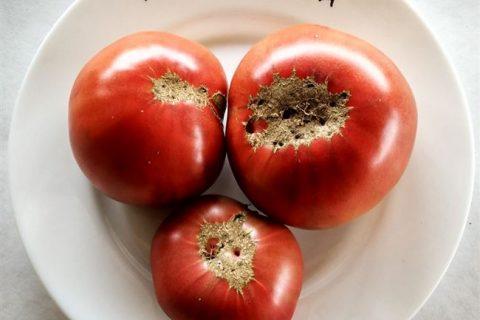 Аппетитный — А  — сорта томатов — tomat-pomidor.com — отзывы на форуме | каталог