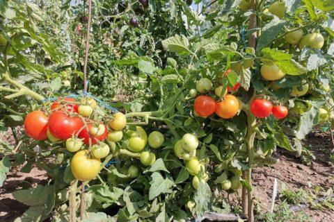 Томат Пламя агро семена — низкая цена, описание, отзывы, продажа