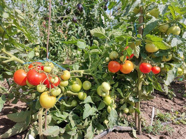 Делюсь сортами неприхотливых томатов с богатым урожаем, которые я буду высаживать в 2021 году