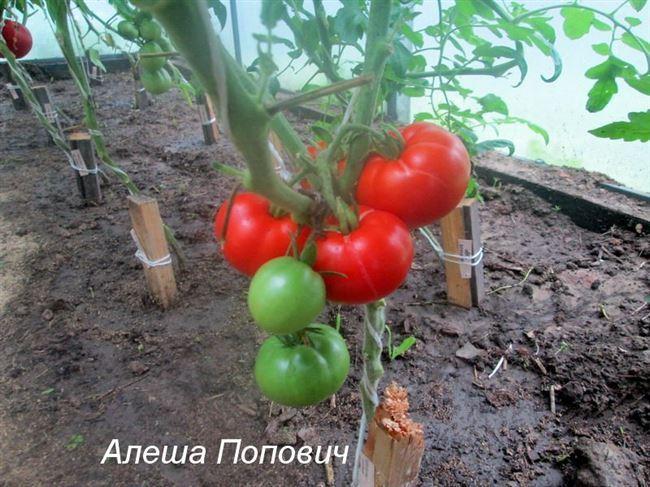 Секреты выращивания и ухода за томатами Бийский розан — описание сорта и его характеристики