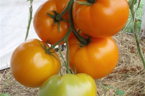Биоранж — сорт растения Томат