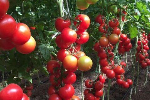 Томат «Благовест» F1: описание и характеристики сорта, фото помидор Русский фермер