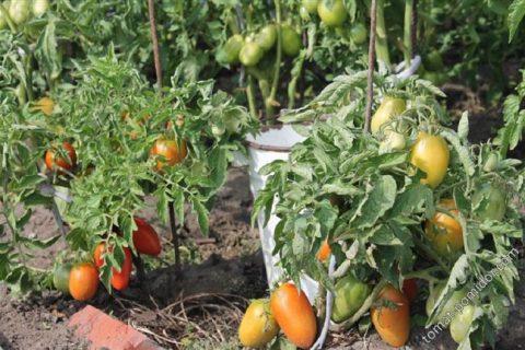 Томат Боец: описание и характеристика сорта, особенности выращивания, посадки и ухода, отзывы, фото