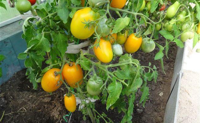Всегда отличный урожай на вашей грядке — томат Буян желтый: описание сорта и его характеристики