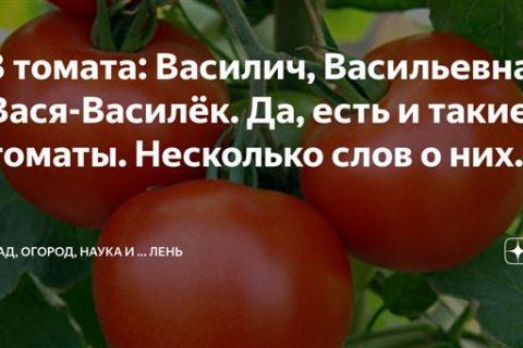 3 томата: Василич, Васильевна, Вася-Василёк. Да, есть и такие томаты. Несколько слов о них. | САД, ОГОРОД, НАУКА … и Лень