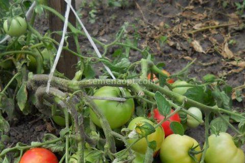 Отзыв о Семена томата Аэлита Везунчик F1 | Отличная всхожесть семян