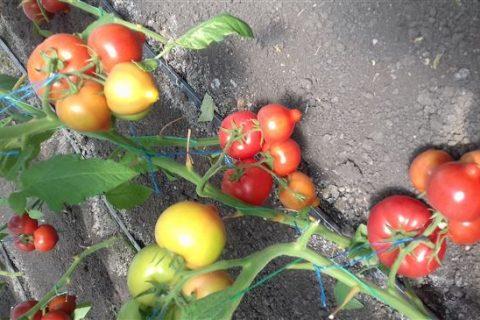 Вексель — сорт растения Томат