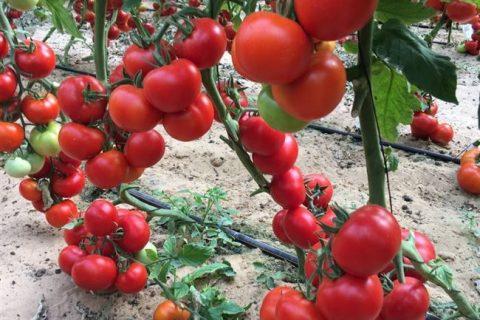 Томат Верлиока: описание сорта, фото, отзывы, характеристика плодов