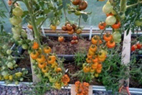 Раннеспелый гибридный сорт томата Волшебная арфа f1 — технические данные растения и описание плодов. Правила выращивания помидоров на участке.