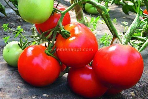 Ультраранние томаты для посева в марте!