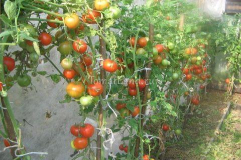 Томат Гамаюн: характеристика и описание сорта, отзывы, урожайность, фото