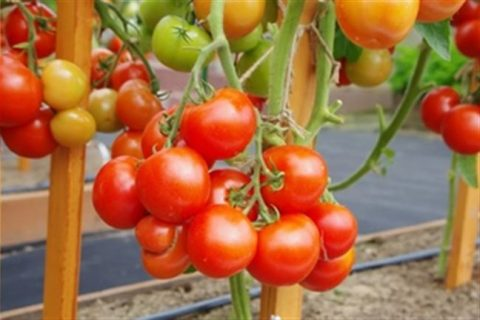 Индетерминантный среднеранний гибрид розовоплодного томата с высоким качеством плодов и высокой урожайностью. Профессиональные семена.