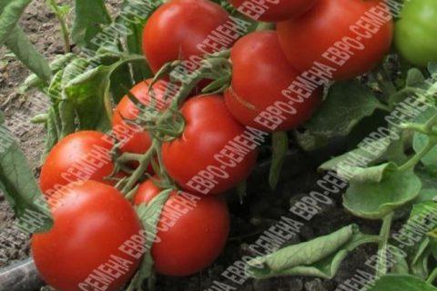 Сорт растения Томат — Городничий. Свойства и характеристики сорта Городничий. База сортов и гибридов растений для выращивания на своем участке. Подбор сортов по критериям.