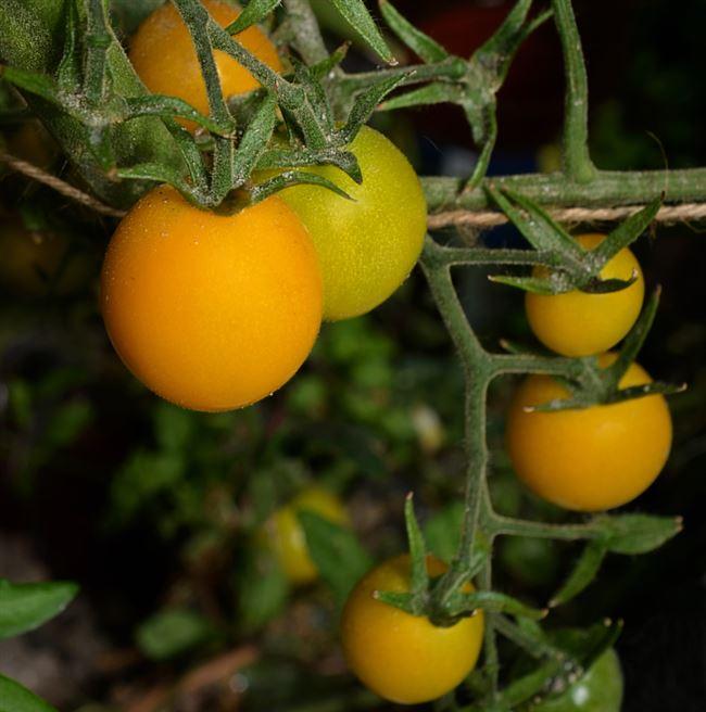 Помидорки с большим потенциалом — томат Золотой самородок: описание сорта и характеристики