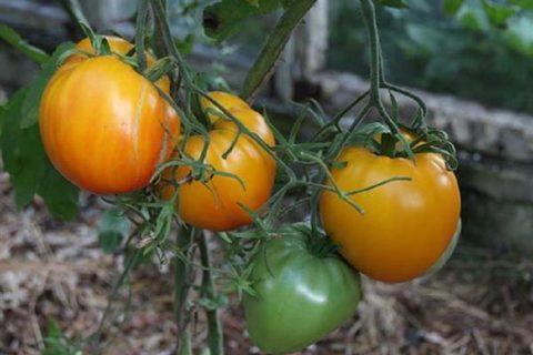Томат Золотые купола: характеристика и описание сорта, урожайность с фото