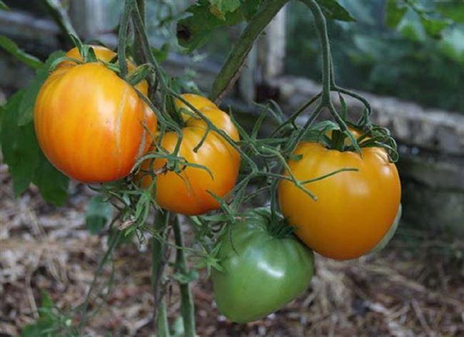 Томат Золотые купола: описание среднеспелого сорта с оранжевыми плодами