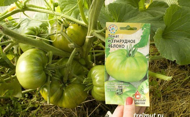 """Мой опыт выращивания томата """"Изумрудное яблоко"""""""