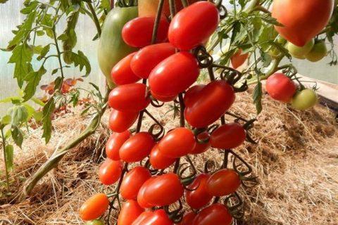 Разновидности томатов пальчики   Экономика   Селдон Новости