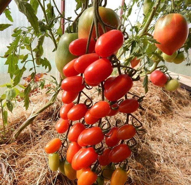 Разновидности томатов пальчики