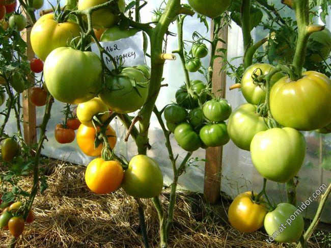 Богатырские плоды с сладким вкусом — томат Илья Муромец: описание сорта и его характеристики
