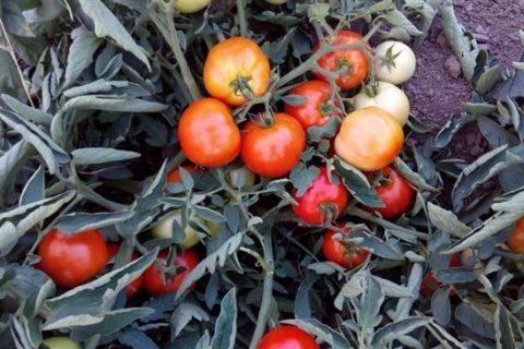 Томат Импала: описание сорта, характеристики и урожайность с фото