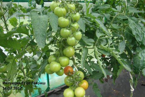 Томат «Интуиция» F1: описание сорта, характеристики, советы по выращиванию отличного урожая помидор, фото-материалы Русский фермер