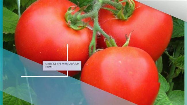 Устойчивый к стрессам и жаре томат «Инфинити» F1: описание сорта и особенности выращивания