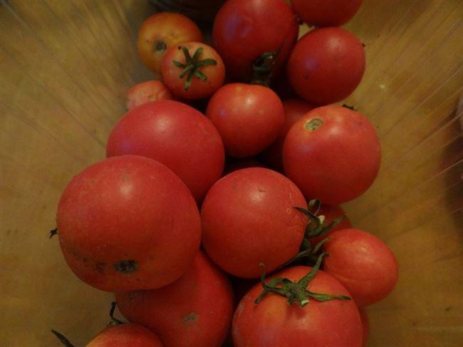 Сорт томата «Калинка-малинка»: описание, характеристика, посев на рассаду, подкормка, урожайность, фото, видео и самые распространенные болезни томатов